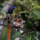 006_Page2-B39F.6-Paradise-Flycatcher-Male-at-Nest