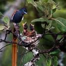 006_Page2-B39F.6-Paradise-Flycatcher-Male-at-Nest