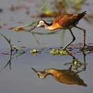 007_Page4-B16J.0692-African-Jacana-(imm)-