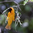 008_Page6-B44W.50-Masked-Weaver-Nest-Building