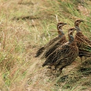 009_Page8-B14F.42-Nyika-Red-winged-Francolin