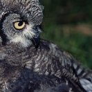 012_Page14-B24.48-Spotted-Eagle-Owl-fledgling