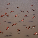 013_Page16-B27C.0648-Carmine-Bee-eaters-in-flight