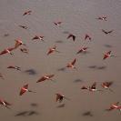 013_Page16-B27C.0648-Carmine-Bee-eaters-in-flight