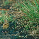 008_Page6-March-B32.4-Nyika-Rufous-naped-Lark