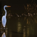 009_Page8-April-B5.0854-Great-White-Egret