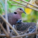 014_Page18-Sept-B21D.3985-Red-eyed-Dove