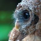 016_Page22-Nov-B24.1310-African-Wood-Owl