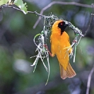 002_B44W.50-African-Masked-Weaver-Nest-Building