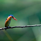 006_B28.45-Malachite-Kingfisher-Alcedo-cristata