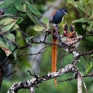 010_B39F.6-Africa-Paradise-Flycatcher-(male)-at-nest