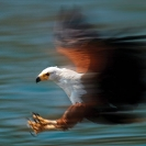007_Pg2-African-Fish-Eagle