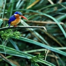 014_Pg6-Malachite-Kingfisher