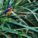 014_Pg6-Malachite-Kingfisher