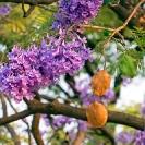 022_Pg10-Jacaranda-Jacaranda-mimosifolia-flowers-&-fruit