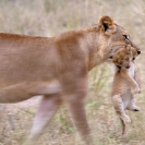 002_Artwork-Pg1-ML.1094-Lioness-&-New-born-Cub-sfw