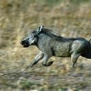 008_Artwork-Pg4-MpiW.116-Warthog-Running-sfw