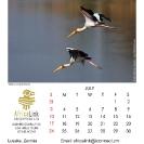 015_Artwork-Pg8-July-Yellow-billed-Storks