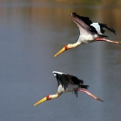 016_Artwork-Pg8-B7S.0683-Yellowbilled-Storks-in-Flight,-Mycteria-ibis-sfw