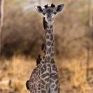 018_Artwork-Pg9-MG.1004V-Thornicroft's-Giraffe-Infant-sfw