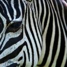 020_Artwork-Pg10-MZ.6589-Zebra-close-up-sfw