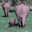 022_Artwork-Pg11-ME.186[revsd]-African-Elephant-&-Calf-in-Mud-sfw