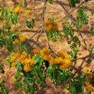 007_LZmE.0409-22.23-Wild-Mango-Cordyla-Africana-in-Bloom