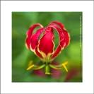 005_FP_5185VA-African-Christmas-Lily-Gloriosa-superba