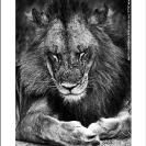 001_ML.0720VBW-Male-Lion
