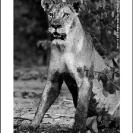 003_ML.515BW-Lioness-