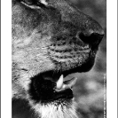 004_ML.0749V-African-Lion-Female-Luangwa-Valley-