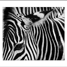 007_MZ.6593BW-Zebra-close-up