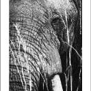 008_ME.0993VBWA-African-Elephant-Bull