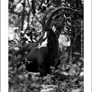 009_MAS.6178VABW-Sable-Antelope-Bull