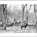 010_MR.BW.044-34A-EXTINCT-Luangwa-Valley-Black-Rhino-