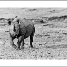 011_MR.BW.082-36-EXTINCT-Luangwa-Valley-Black-Rhino-