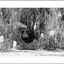 013_MH_4150BW-Hippo-Zambezi-River