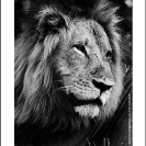 015_ML.BW.07_4AV[rev2]-Lion-Portrait-Luangwa-Valley-Zambia