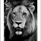 016_ML.BW.07_06AV[rev1]-Lion-Portrait-Luangwa-Valley-Zambia-sfw