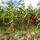 010_AgCF.0068-African-Conservation-Farming---Maize-Crop-&-Child-Running-Zambia