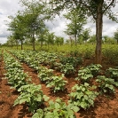 017_AgCF.0343V-African-Conservation-Farming-&-Winterthorn-Trees-Zambia