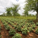 018_AgCF.0344-African-Conservation-Farming-&-Winterthorn-Trees-Zambia