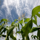 022_AgCF1035-Conservation-Farming-Maize-&-Sky