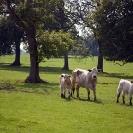 023_AgL.0053-Livestock-Cattle