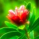 001_FP.5023V-Zambian-Protea--Protea-senegalensis