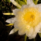 005_FG.2177-Queen-of-the-Night-Hylocereus-undata