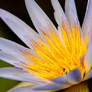 006_FP.3916-African-Water-Lily-Nymphaea-nouchali