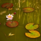 008_FP.0040-Water-Lily-UK