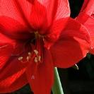009_FG.1551-Red-Amaryllis-Hippeastrum-sp