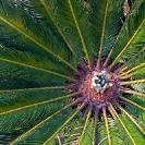 010_FG.9086-Japanese-Sago-Palm-Cycas-revoluta